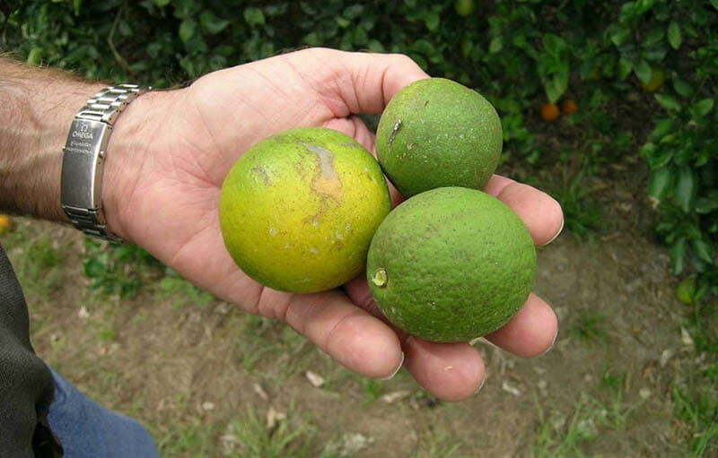 Citrus fruits hit with citrus greening disease or HLB. Image courtesy of South Texas Citrus Alert.