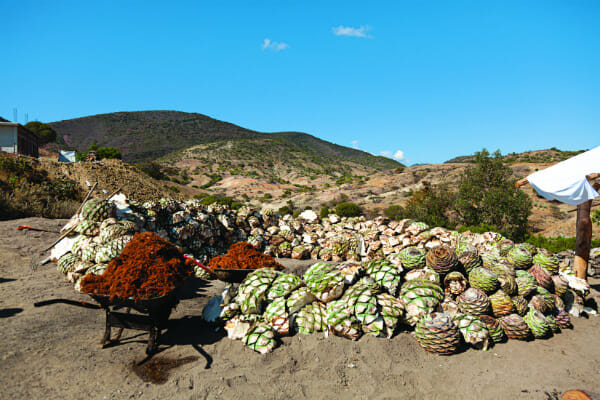 A mound of bagazo, which will be layered on top of the hot rocks to ensure the piñas don't burn.