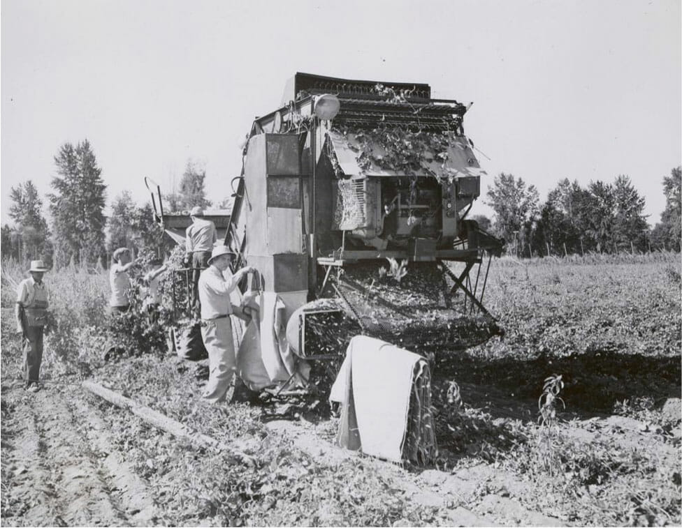 Harvesting hops by portable machine, circa 1930s. From the Extension Bulletin Illustrations Photograph Collection. Courtesy of Oregon Hops and Brewing Archives.