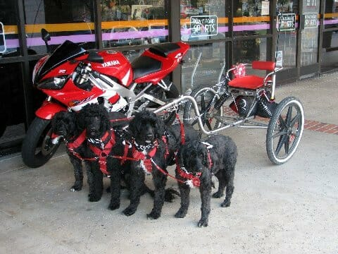 A team of Portuguese Water Dogs hitched to a dog cart. / Photo by Darlette Ratschan.