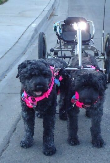 A pair of Bouvier des Flandres wait to take their master for a spin. / Photo by Darlette Ratschan.