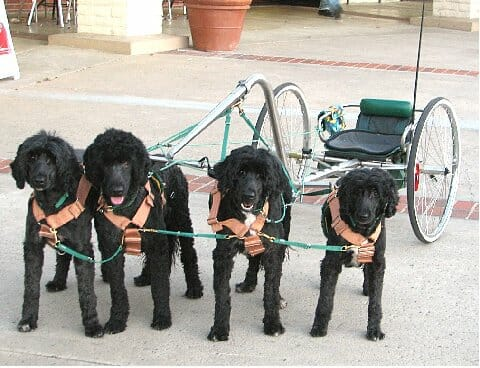 It's common to have four or even more dogs pulling in a team, and more dogs means that the cart can handle more weight. / Photo by Darlette Ratschan.