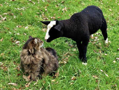 Bodacious the cat and Smudge the sheep