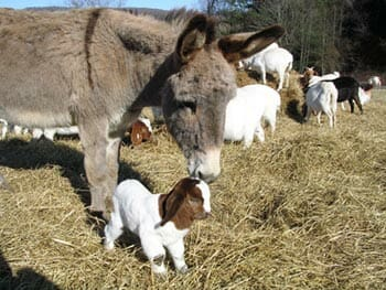 Modern Farmer's Guide to Guard Donkeys - Modern Farmer
