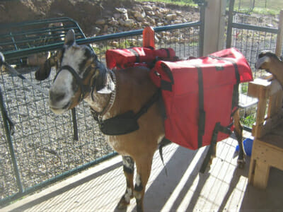 Cuzco the packgoat.