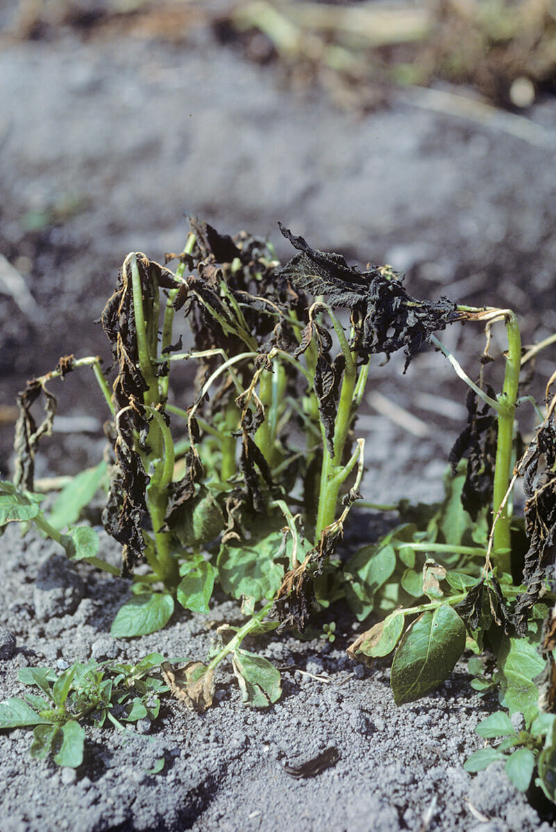 A plant destroyed by frost. Courtesy Steven Lindow, the University of California, Berkeley.