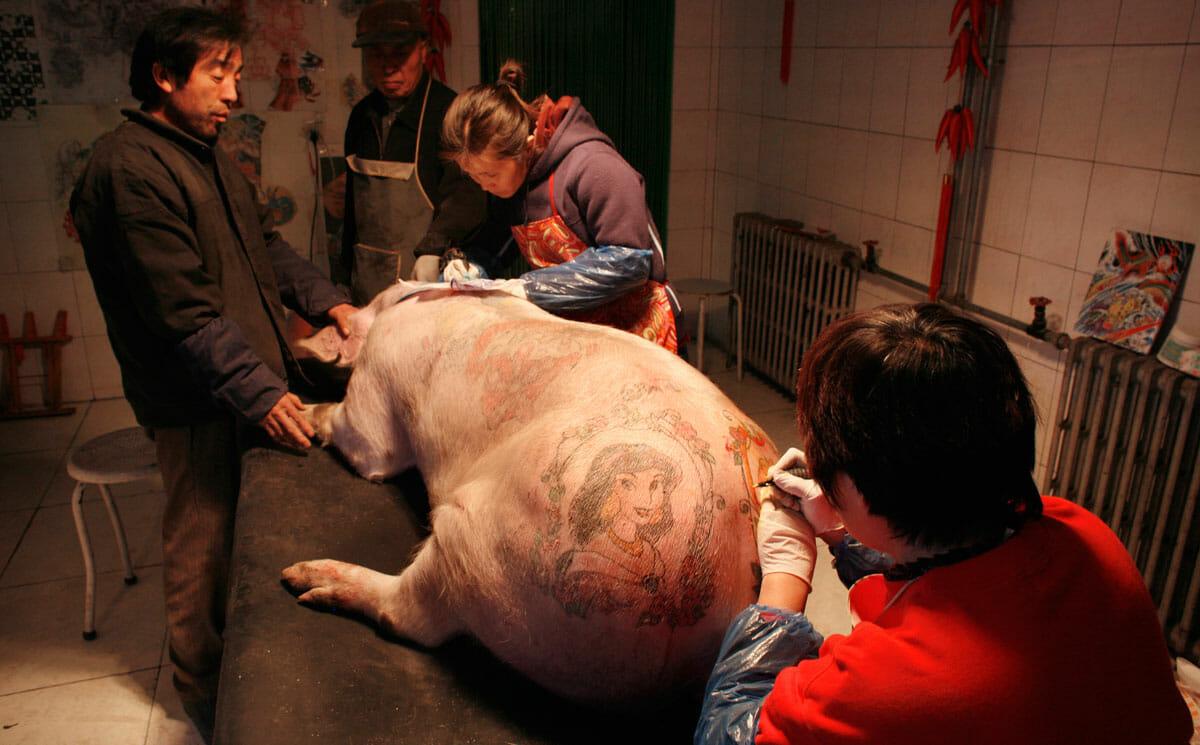 O Inked Is Tattooing A Pig Art Modern Farmer