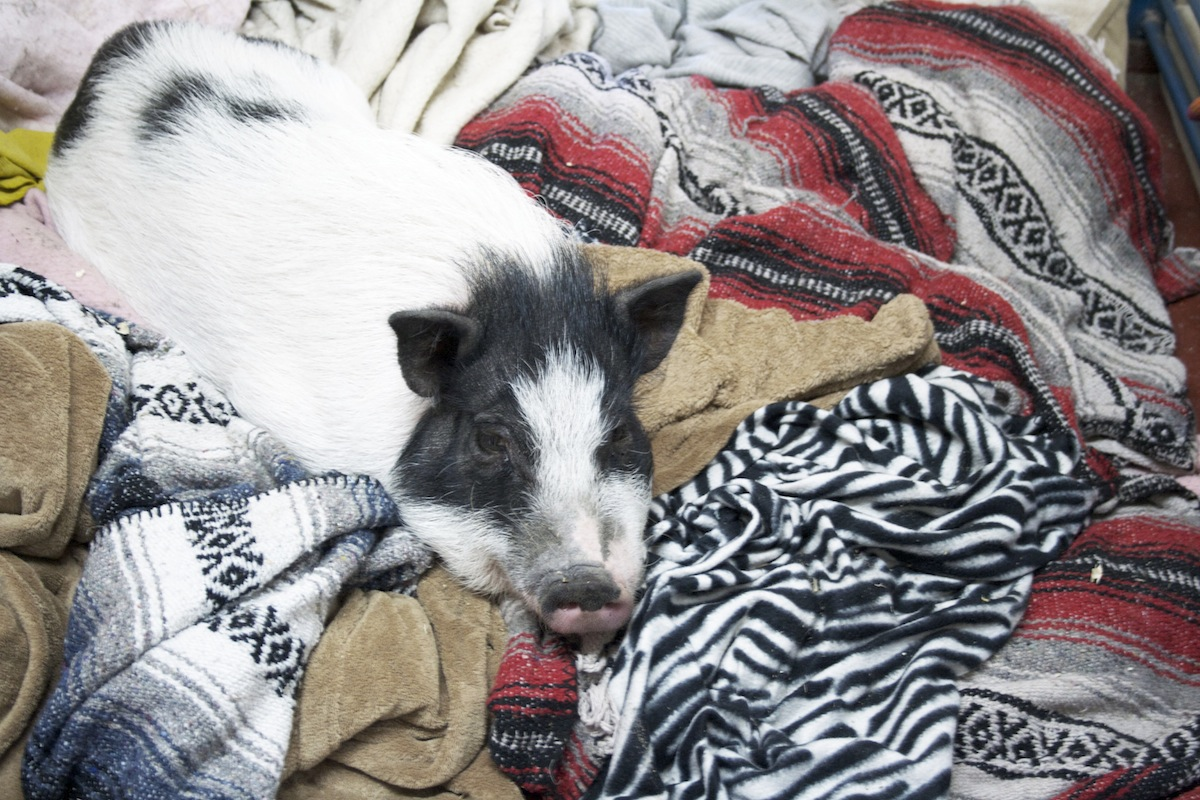 A pig in a blanket at Ross Mill Farm!