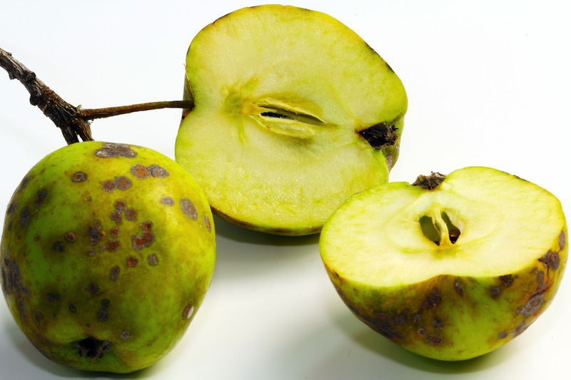 apple_scab