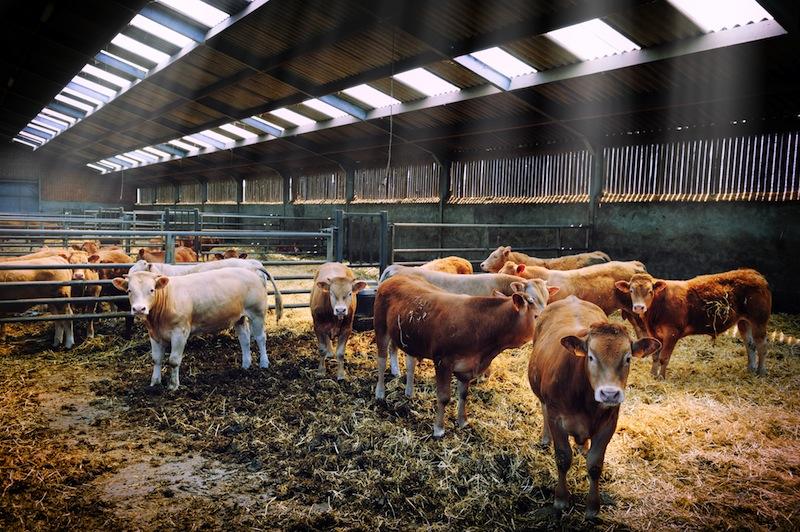 barn_cows