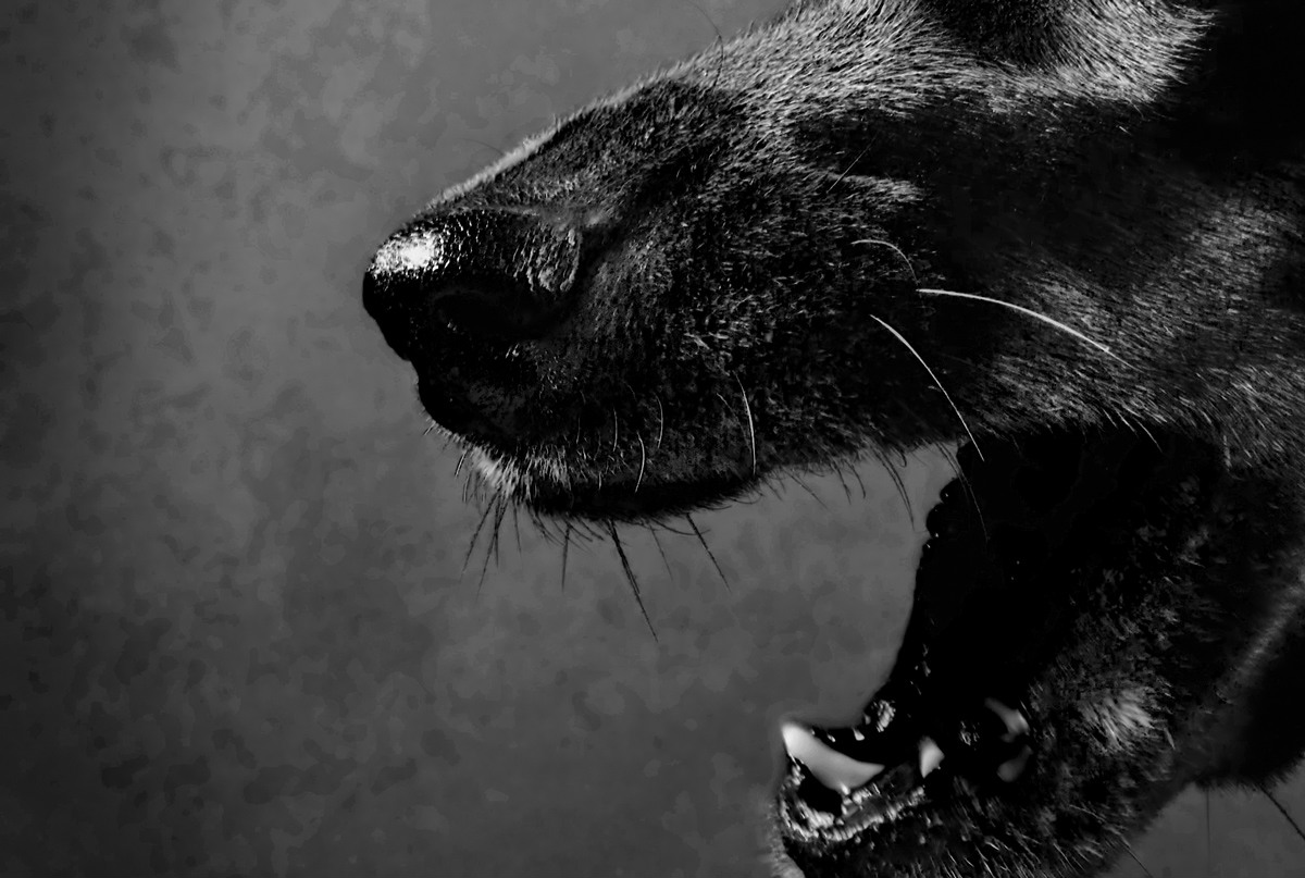 Devil Dogs The Mysterious Black Dogs Of England Modern