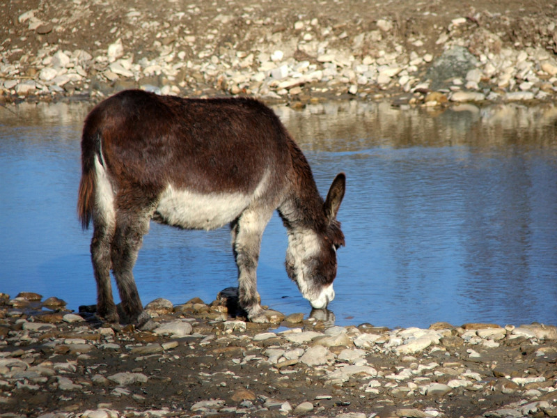 A donkey drinks from a stream. / Courtesy Eurolactis