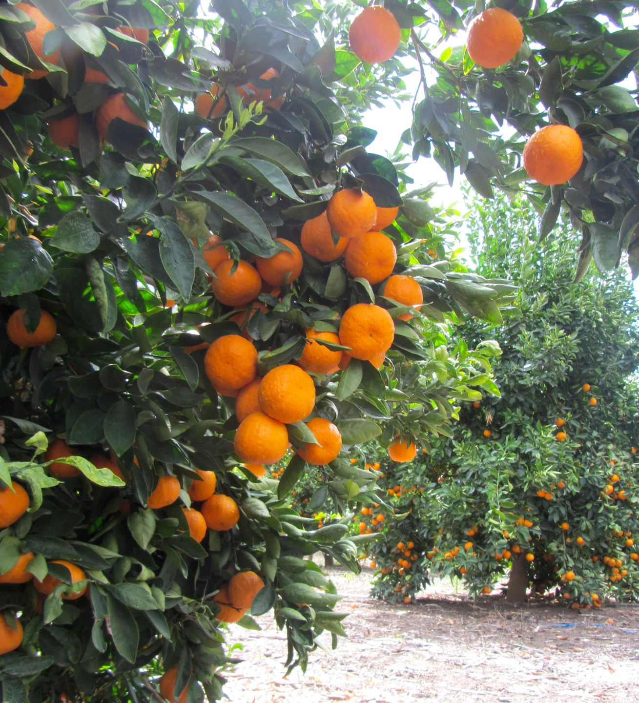 Ripe tangerines hanging heavy on the tree.