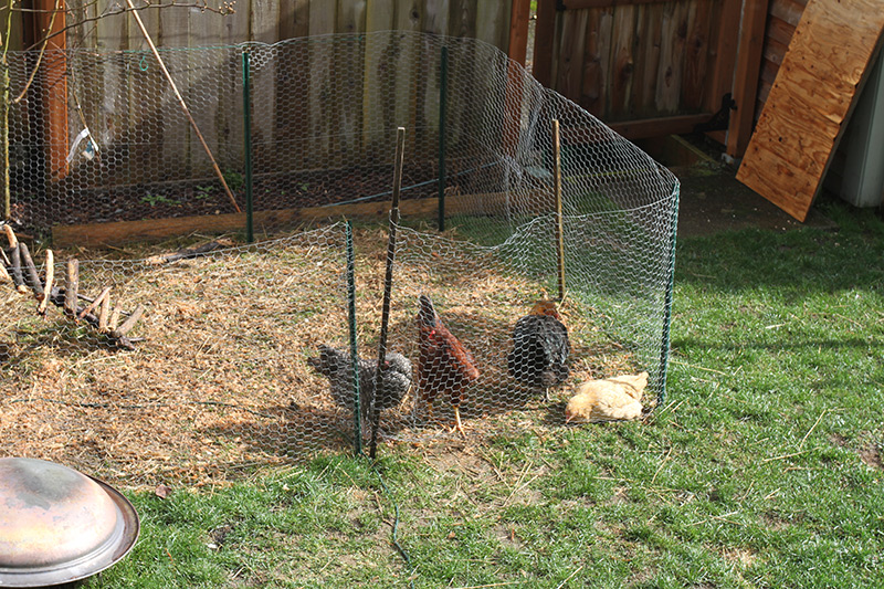 The backyard chicken gang hanging out.