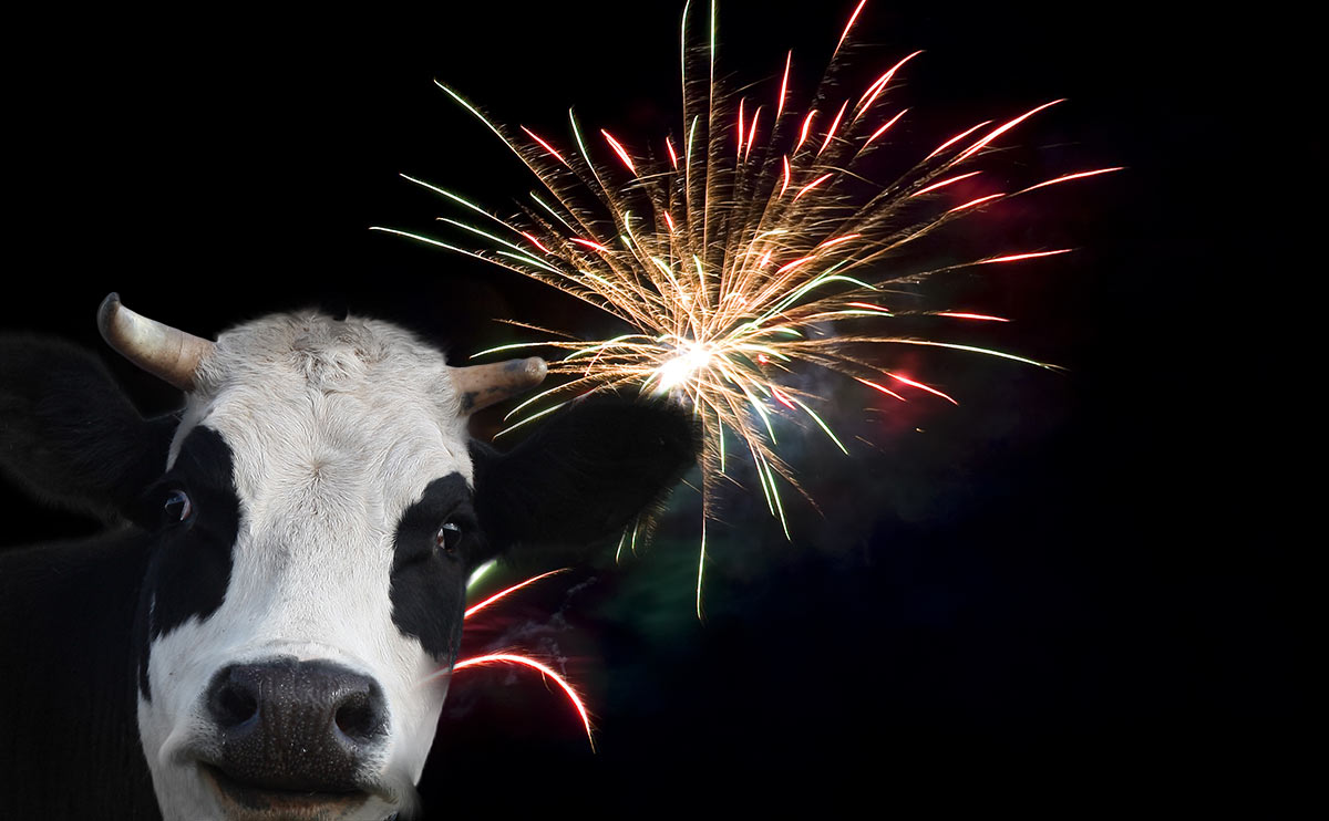 Why Cows And Fireworks Don T Mix Modern Farmer
