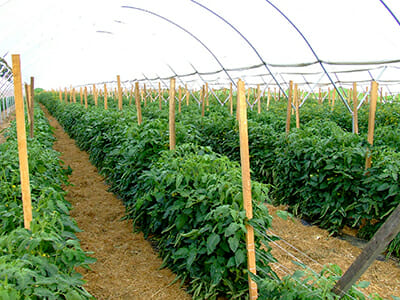 A pesticide-free crop of tomatoes grown on Kempf's AEA system in New Holland, Pa.