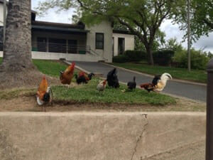 Chickens in front of a suburban home. / Courtesy Haley Gonzales.