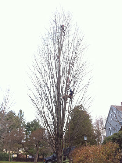 Scheer at the very top of the tree, climbing for the Asian Longhorned Beetles in Worcester, MA.