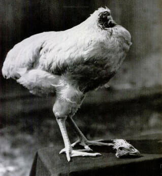 Mike the Headless Chicken, ca. 1945. / Courtesy miketheheadlesschicken.org