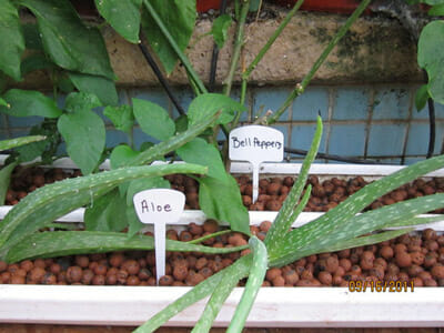 Bell peppers and aloe vera are examples of produces from the pool. / Courtesy Garden Pool