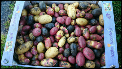 A box full of eclectic potatoes.