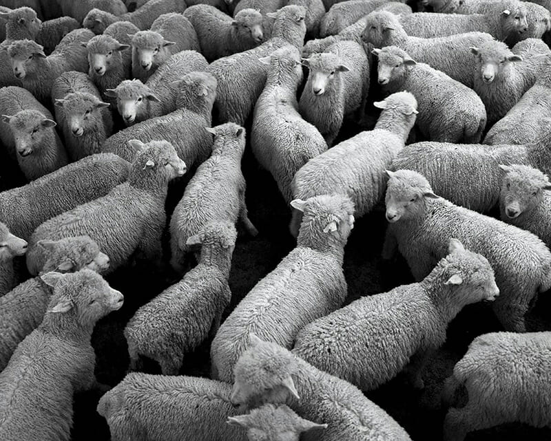 Sheep raised for wool in the pen of a private farm near Hamilton, on the north island of New Zealand.