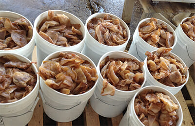 Partially dried jellyfish in brine, ready to be shipped to Asia.