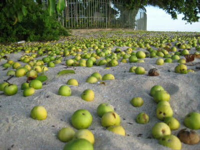 The manchineel fruit resembles a small green apple.