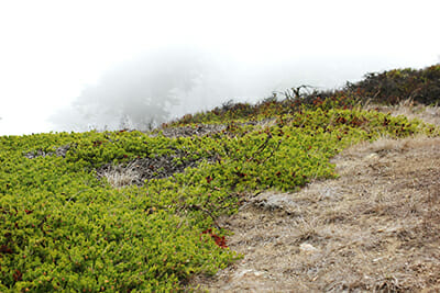 The last Raven's manzanita left in the wild is shrouded in fog and secrecy. / Courtesy Laurel Allen.