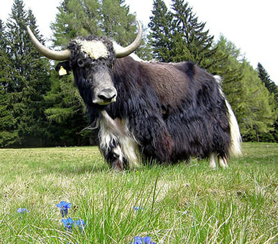 The yak, whose hair is a common material for certain specialty wigs. / Courtesy Wikimedia Commons.