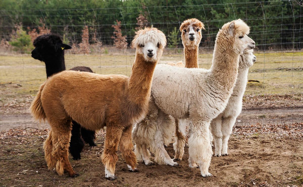 Alpacas: Loveable Lawnmowers No More - Modern Farmer