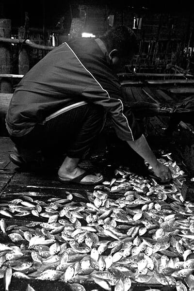 Sifting through the evening catch of anchovies.