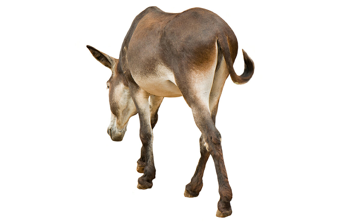 Dat Ass: Donkey Words and Idioms - Modern Farmer
