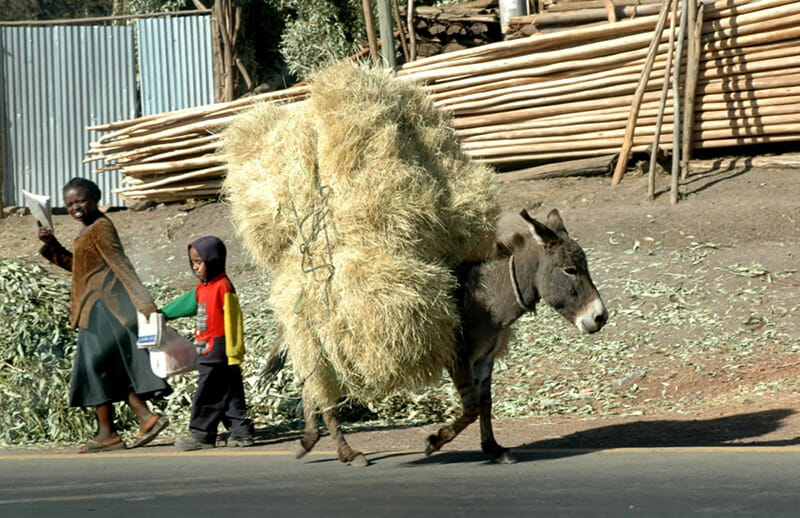 A group of donkeys carry hay bails down the street in Addis Ababa.  Flickr/Tim & Annette Gulick.