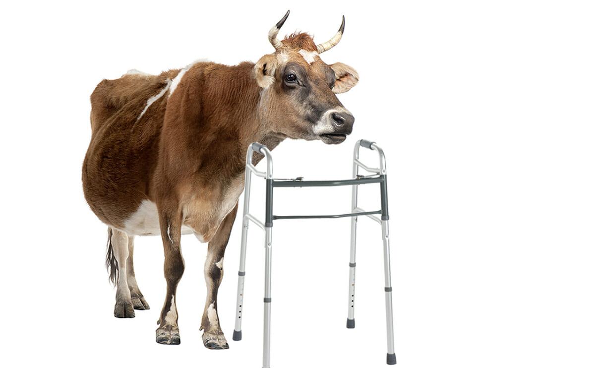 The Case For Eating Older Animals Modern Farmer