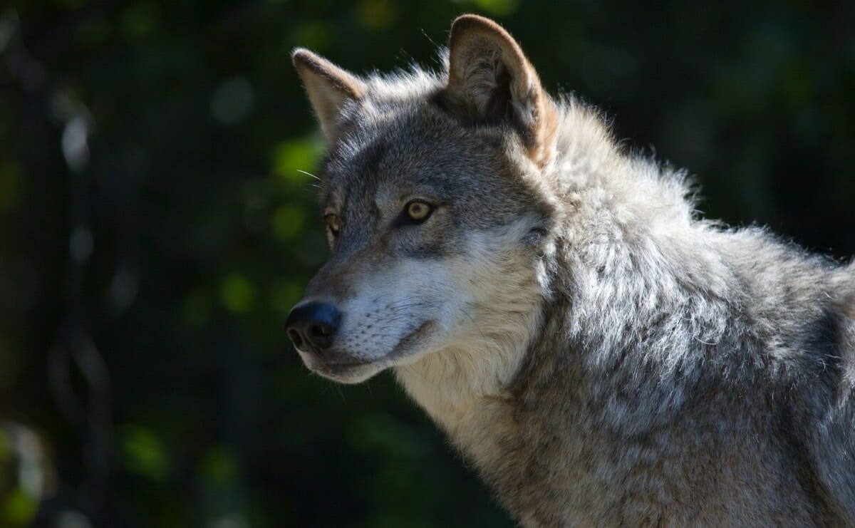 Killing Wolves May Cause More Livestock Deaths Modern Farmer