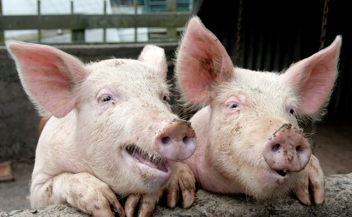 Grunzende Schweine