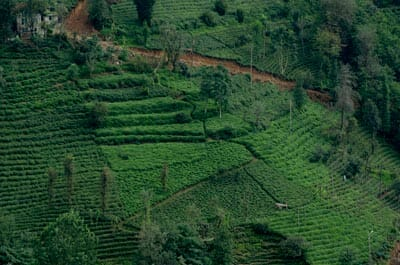 Turkish tea plantations in the Pontic Mountains near Rize, Turkey.