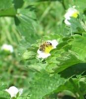 Bee on Strawberry Blossom