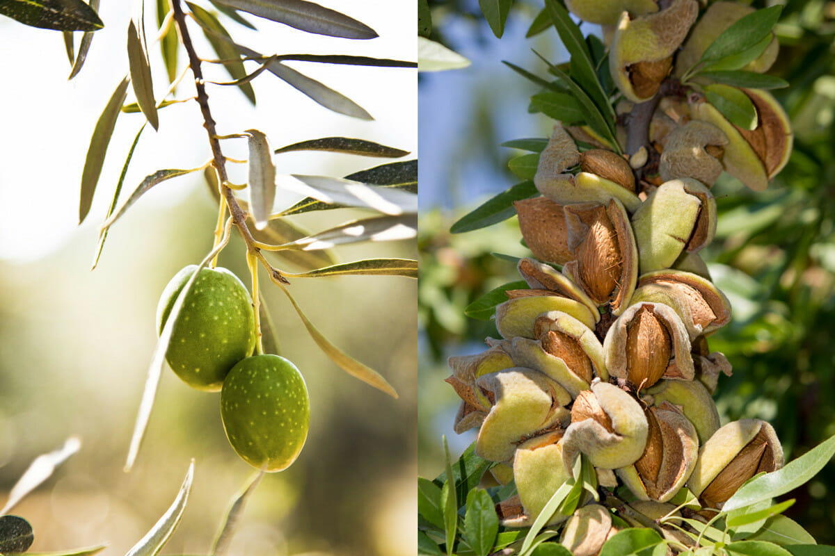 California Olive Growers Cutting Down Orchards Modern Farmer