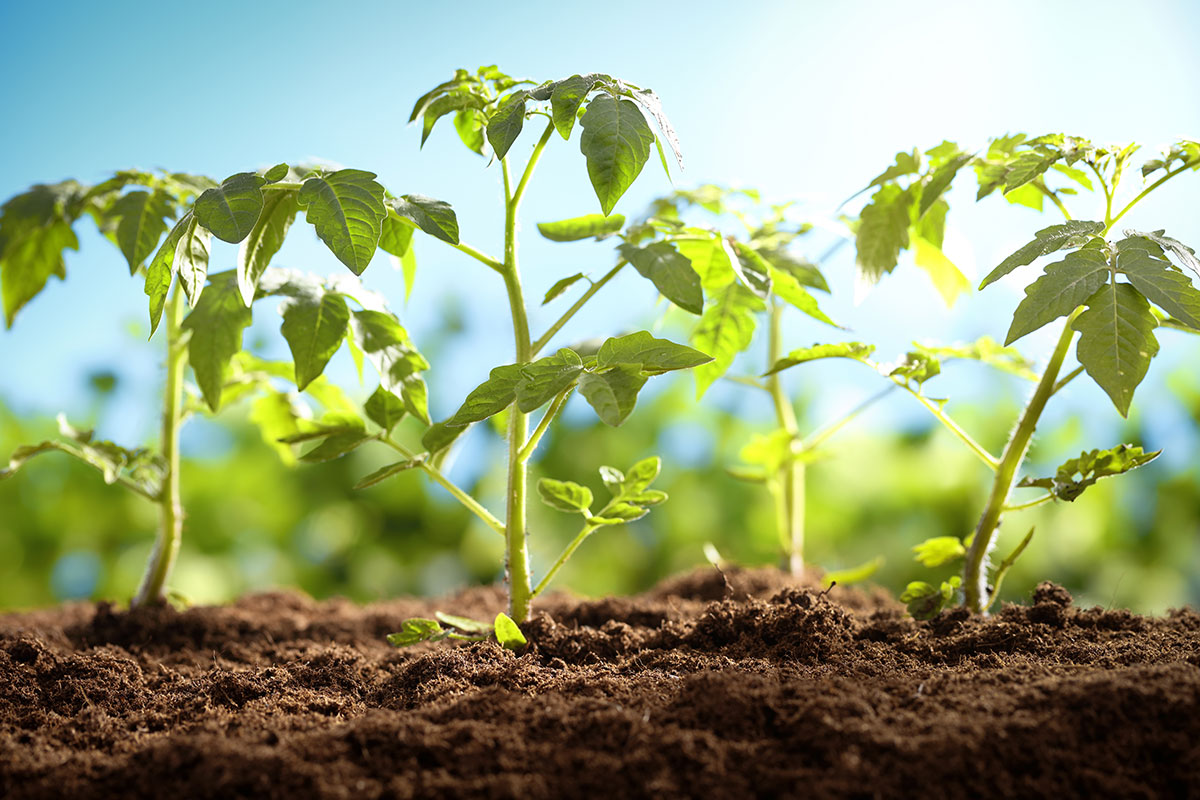 How to Grow Your Own Tomatoes, Part 2: Transplanting - Modern Farmer