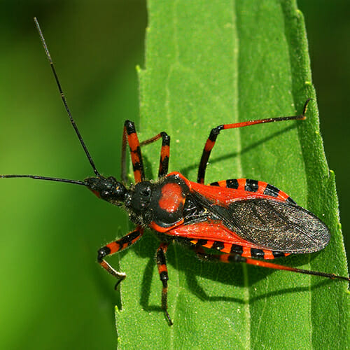 http://modernfarmer.com/wp-content/uploads/2015/06/AssassinBugs.jpg