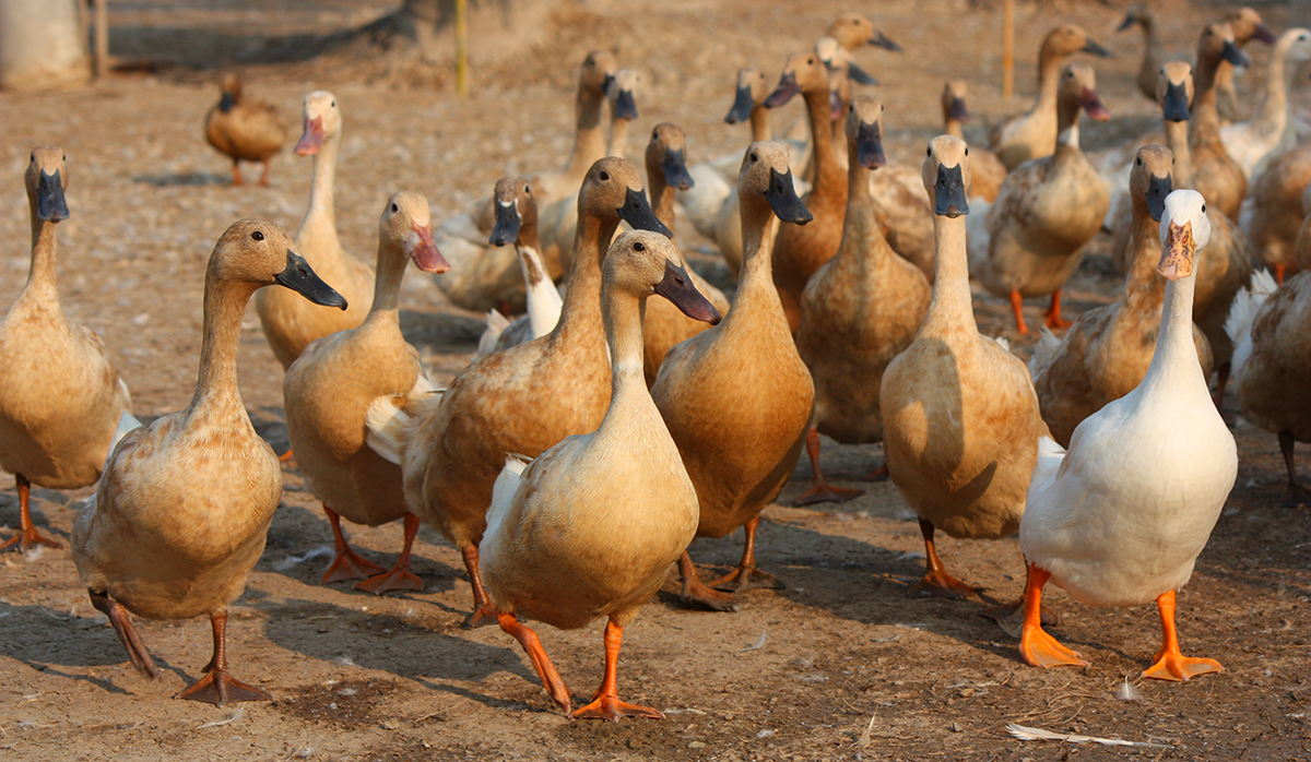 Five Things You Never Knew About Ducks