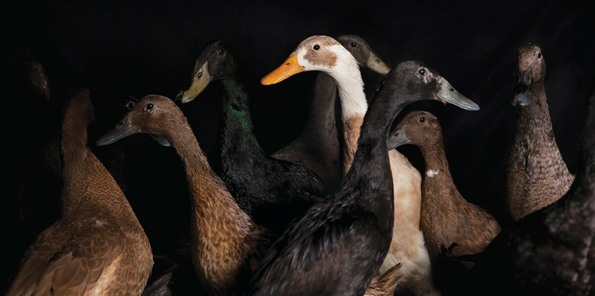 All Your Ducks in a Row - Modern Farmer