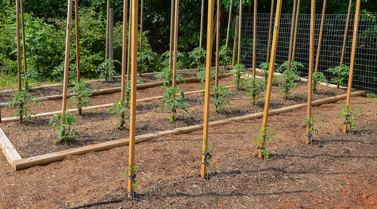 How To Grow Your Own Tomatoes Part 3 Staking Training