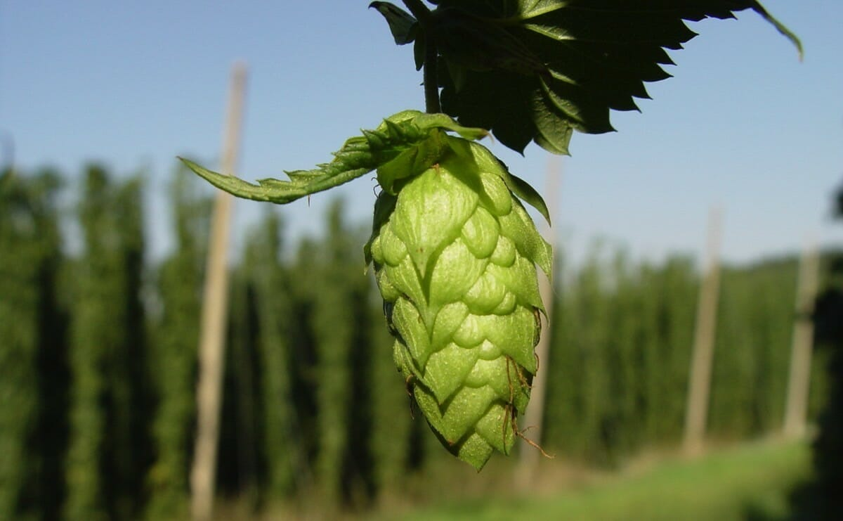 why are hops antibacterial