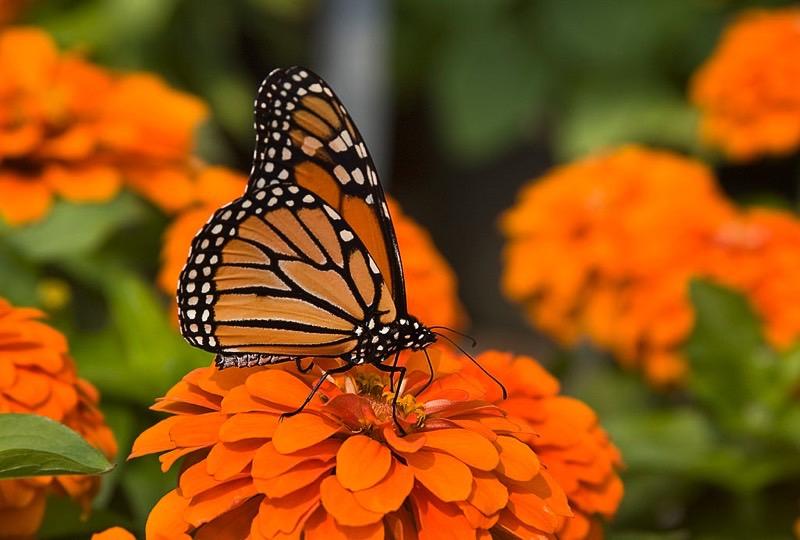 butterfly800