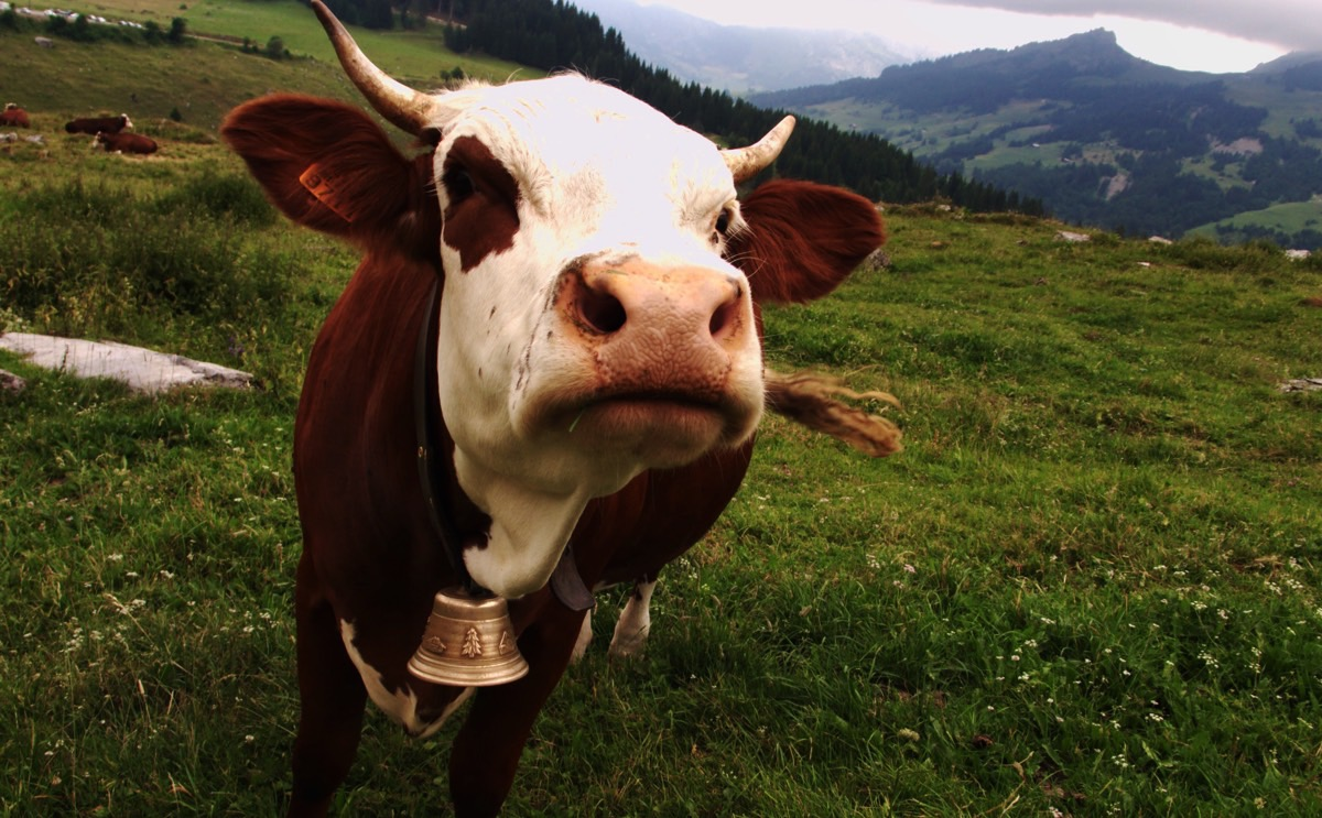 scientists discover a way to make cows fatter and less flatulent