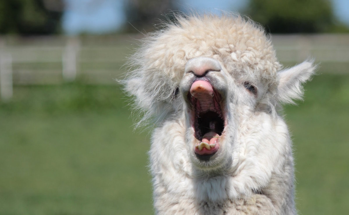 Important Question: What Sound Does An Alpaca Make? - Modern