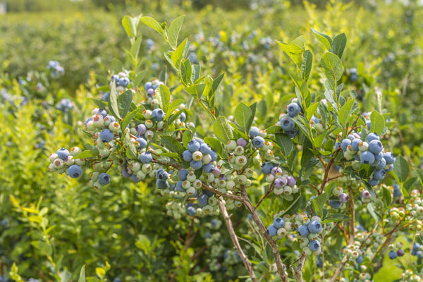 edible-landscapes-blueberries